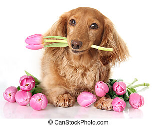 Tulip puppy - Dachshund puppy dog with spring pink tulip...