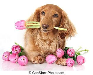 Tulip puppy - Dachshund puppy dog with spring pink tulip...