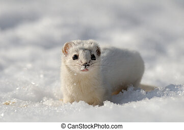 Frontal view of Least Weasel in snow