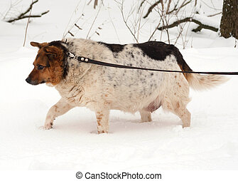 White, red and black spotted thick mongrel dog is on leash...