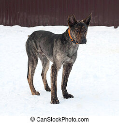 Grey and brown young mongrel dog standing on snow - Grey and...