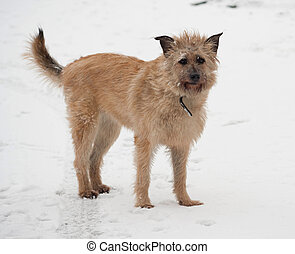 Red mongrel shaggy dog standing in snow - Red mongrel shaggy...