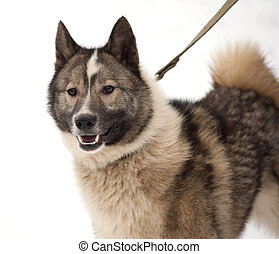 Gray and white Siberian Laika on snow - Gray and white...