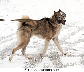 Gray and white Siberian Laika running on snow - Gray and...