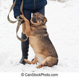 Thick brown mongrel dog sitting near man legs on snow -...