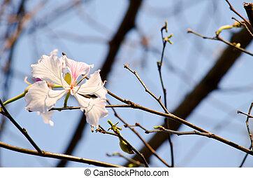Bauhinia variegata flower - Bauhinia variegata is quite a...