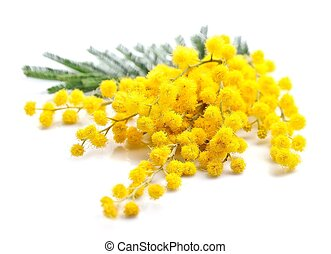 Twig of mimosa flowers macro isolated on white