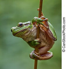 European tree frog hanging on a str