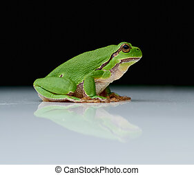 European tree frog on a reflecting