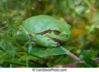 European tree frog on a green leaf - Close up of european...