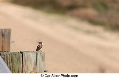 Grey Tree swallow bird - Grey female tree swallow birds,...