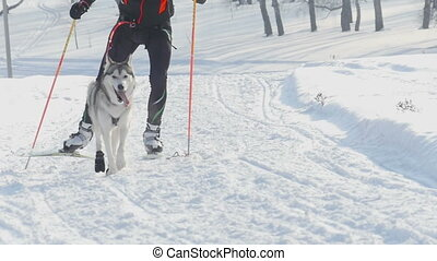Husky dog and man athlete during skijoring competitions -...