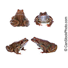 Brown frog from the front and from the back isolated