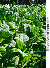 Tobacco leaves field, with big green leaves in the tropical...