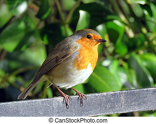 Robin Redbreast - Robin perched on a railing at Sewerby...
