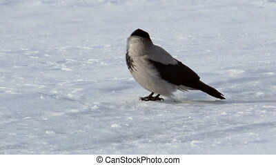 Grey crow on ice of the river