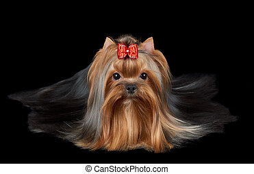 Dog lies on black - Groomed Yorkshire terrier with red bow...
