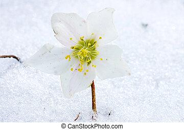 Hellebore flower in snow