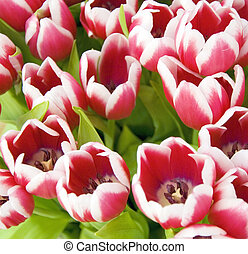 tulips - many red tulips in a bunch