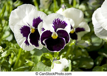 pansy - macro of white pansies in a row