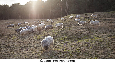 grazing horned sheep at sundown on the moor near Zeist and...