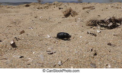 Beetle crawling on the beach - Crawling black beetle on the...