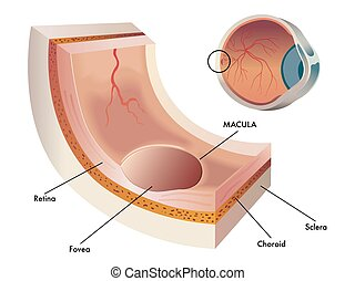 macula - medical illustration of the macula, the central...