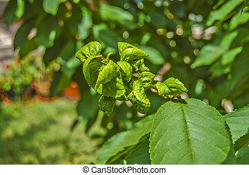 Fruit diseased leaves