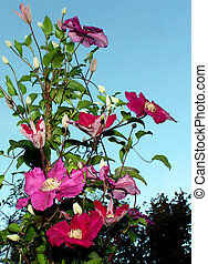 clematis - flowering purple clematis strapping a stick....