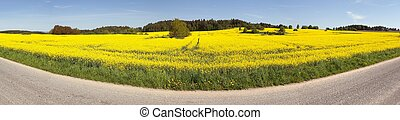 rapeseed (brassica napus) field and road - Panoramic view of...