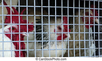 Group of Chicken in Metal Cage