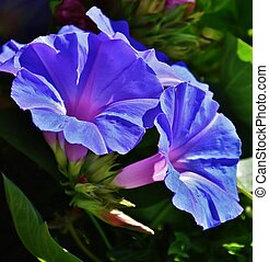 Morning glory flower - Close up of blue morning glory flower