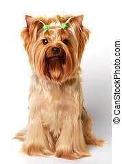 Dog with hairpins