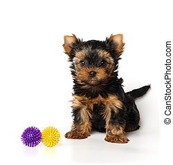 One Yorkshire Terrier puppy with toys