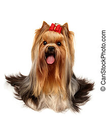 Purebred dog - The Yorkshire Terrier of show class isolated...