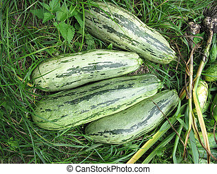 squashes - There are squashes, onion on green grass