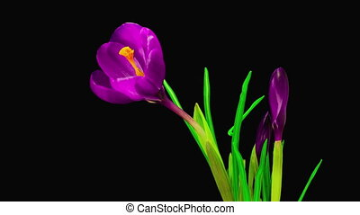 Violet Crocus Flower Blooming - Timelapse of Violet Crocus...