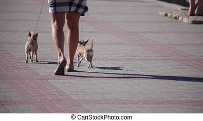 The woman walks small dogs - The woman walks two small dogs