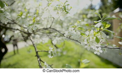 White cherry branches with flowers