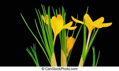 Yellow Crocus Flower Blooming - Timelapse of Yellow Crocus...