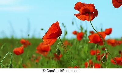 Poppy Field on a Sunny Day - Poppy Flower Field and Blue Sky...