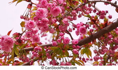 Sakura Blossom with Pink Flowers on the Tree. Light Breeze.
