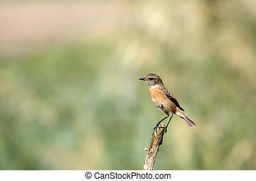 Siberian Stonechat Female in a farm in Bahrain