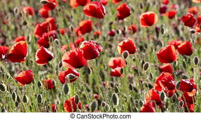 poppy field - Poppy filed