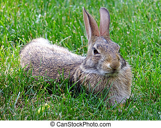 Skepticism - Wild rabbit relaxing in the grass keeping a...