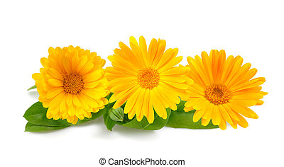 Marigold - Calendula. Marigold flowers with leaves isolated...