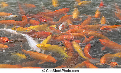 High Angle View Fishpond with Koi Fishes - High angle view...