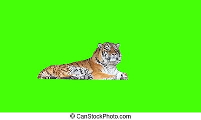 Tired tiger lying on green screen - Tired tiger lying on...