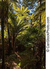 silver fern trees in rainforest - silver fern trees growing...