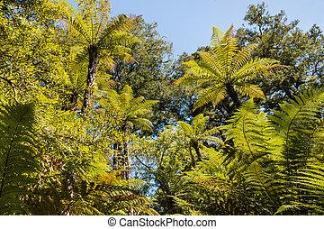 silver fern trees foliage against blue sky